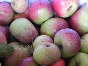 La maduración de la manzana