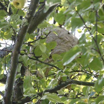 Alerta con los nidos de Avispa Velutina en los manzanos.